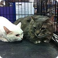 Adopt A Pet :: Snowball - Pittstown, NJ