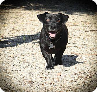 Dachshund/Jack Russell Terrier Mix Dog for adoption in Boston, Massachusetts - Jason Lee