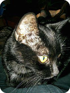Domestic Shorthair Cat for adoption in Toronto, Ontario - Jet