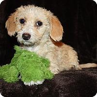 Adopt A Pet :: Maxine - Henderson, NV