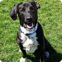 Adopt A Pet :: Rambo - Belleville, MI
