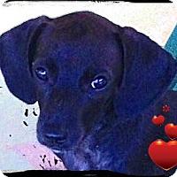 Adopt A Pet :: Louis - Johnson City, TX