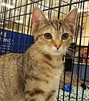 Domestic Shorthair Kitten for adoption in Knoxville, Tennessee - Lizzie