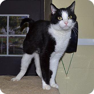 Domestic Shorthair Cat for adoption in Wheaton, Illinois - Sir Isaac Newton