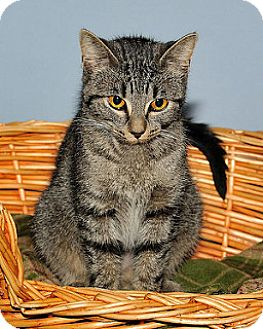 Domestic Shorthair Cat for adoption in Gatineau, Quebec - Candace