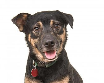 Shepherd (Unknown Type) Mix Dog for adoption in Enfield, Connecticut - Quincy