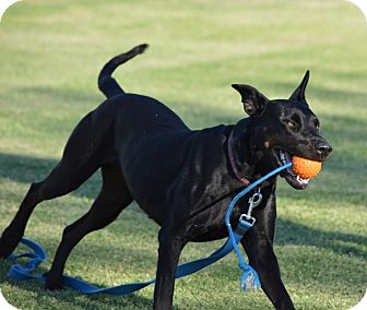 Great Dane/Labrador Retriever Mix Dog for adoption in Phoenix, Arizona - Sophie