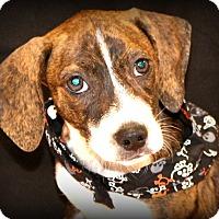 Adopt A Pet :: Rizo~ meet me! - Glastonbury, CT