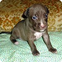 Adopt A Pet :: Pearl - Detroit, MI