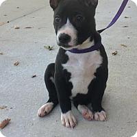 Adopt A Pet :: Piglet - Gadsden, AL