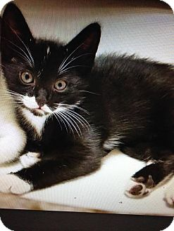 Domestic Shorthair Kitten for adoption in East Brunswick, New Jersey - Siren