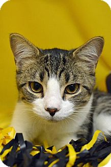 Domestic Shorthair Cat for adoption in Morgantown, West Virginia - Sebastian