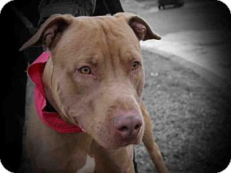 Pit Bull Terrier Dog for adoption in Decatur, Illinois - TINY
