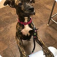 Adopt A Pet :: Cocoa - GREENLAWN, NY