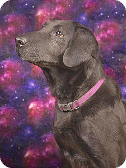 Labrador Retriever Mix Dog for adoption in Lyndhurst, New Jersey - Susie