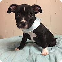 Adopt A Pet :: Ivy - Joliet, IL