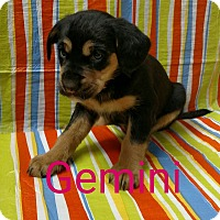 Adopt A Pet :: Gemini - Garden City, MI