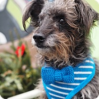 Terrier (Unknown Type, Small) Mix Dog for adoption in Whitehall, Pennsylvania - Toto