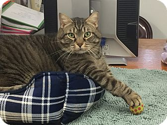 Domestic Shorthair Cat for adoption in Harrison, New York - Jerry