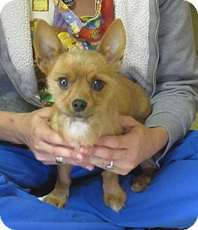 Yorkie, Yorkshire Terrier/Terrier (Unknown Type, Small) Mix Dog for adoption in Spring Valley, New York - Gingerbread Man
