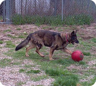 German Shepherd Dog Dog for adoption in Geneseo, Illinois - Jayda