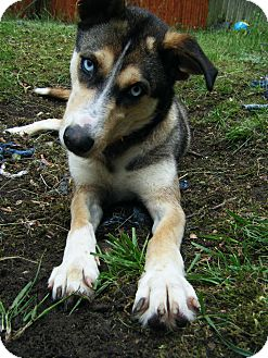 Husky/Shepherd (Unknown Type) Mix Dog for adoption in Manhasset, New York - Adoption Pending --Genevieve