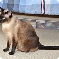 Adopt A Pet :: Velvet - Davis, CA