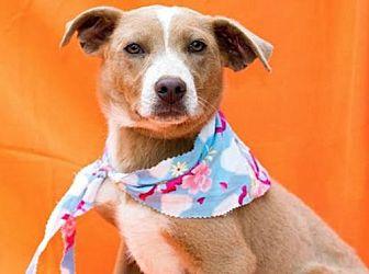Shepherd (Unknown Type)/Labrador Retriever Mix Dog for adoption in Olympia, Washington - Skippy