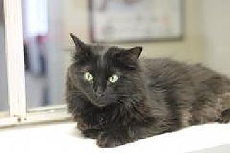 Domestic Longhair Cat for adoption in El Cajon, California - Stanley