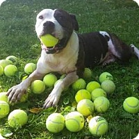 Adopt A Pet :: Cha-Cha - Foristell, MO