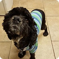 Adopt A Pet :: Champ Cocker - NYC, NY