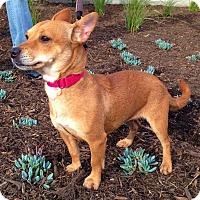 Adopt A Pet :: Pia - Redondo Beach, CA