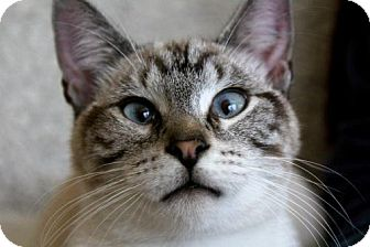 Siamese Cat for adoption in jacksonville, Florida - I'M MILO! WHICH ONE OF YOU CALLED ME CROSSEYED?!