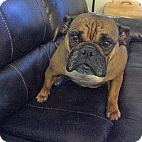 Adopt A Pet :: Bunny - Houston, TX