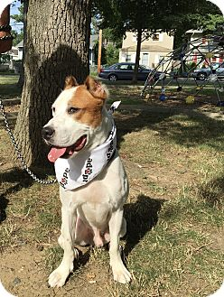American Bulldog/Brittany Mix Dog for adoption in Edgewater, New Jersey - Skippy