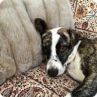 Adopt A Pet :: Lola - Santa Monica, CA
