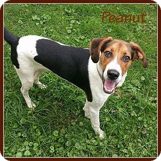 Foxhound/Harrier Mix Dog for adoption in Elburn, Illinois - Peanut