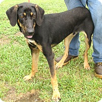 German Shepherd Dog/Black and Tan Coonhound Mix Dog for adoption in Reeds Spring, Missouri - Bruce