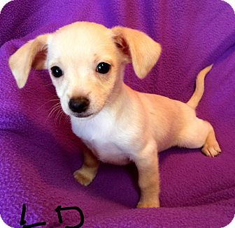 Spaniel (Unknown Type)/Chihuahua Mix Puppy for adoption in Los Angeles, California - Lemon Drop