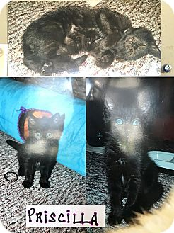 Domestic Shorthair Kitten for adoption in Island Park, New York - Priscilla