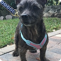 Cairn Terrier Mix Dog for adoption in Boca Raton, Florida - Tess
