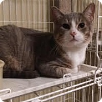 Domestic Shorthair Cat for adoption in Bolingbrook, Illinois - MAX