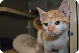 Domestic Shorthair Kitten for adoption in New Castle, Pennsylvania - Nick