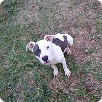 Adopt A Pet :: Whiskey - Pottstown, PA