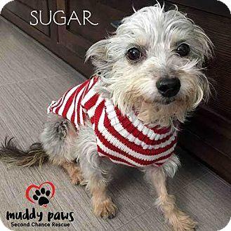 Schnauzer (Miniature)/Yorkie, Yorkshire Terrier Mix Dog for adoption in Council Bluffs, Iowa - Sugar (Plum) (Schnauzer/Yorkie)