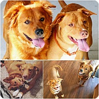 Adopt A Pet :: Ginger and Gabby - Lafayette, IN