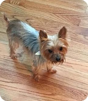 yorkie rescue missouri house springs mo yorkie yorkshire terrier meet 9489