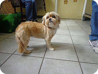 Lhasa Apso Mix Dog for adoption in Crawfordville, Florida - Roxy