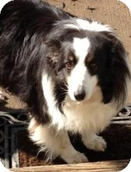 Sheltie, Shetland Sheepdog Dog for adoption in Mission, Kansas - Abby (V)
