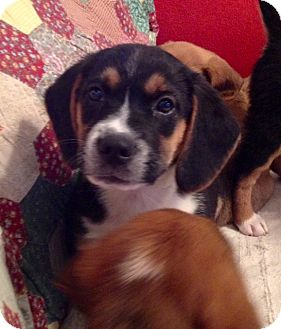Beagle Mix Puppy for adoption in ST LOUIS, Missouri - Bob
